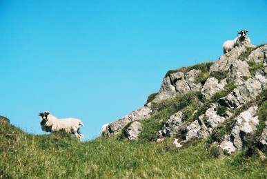 Sheep on guard
